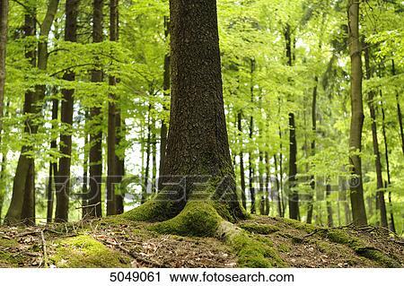 Tronco De Noruega Picea Picea Abies Colección De Imágen