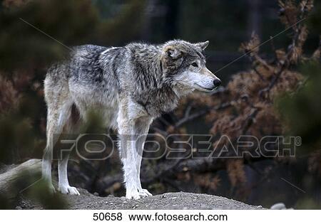 Canadese lupo grigio canis lupus in foresta canada archivio