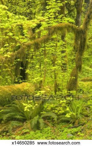Stock Image Of Vine Maple Acer Circinatum And Sword Ferns In