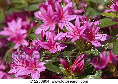 Stock photo of bright pink azalea flowers on bush in garden close bright pink azalea flowers on bush in garden close up mightylinksfo