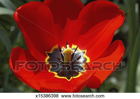 Pictures of bright red coloured poppy flower with yellow stamen bright red coloured poppy flower with yellow stamen close up mightylinksfo