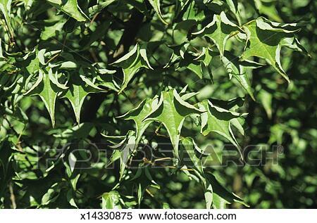 Tridente árbol Del Arce Acer Buergerianum Cv Naruto Kaede