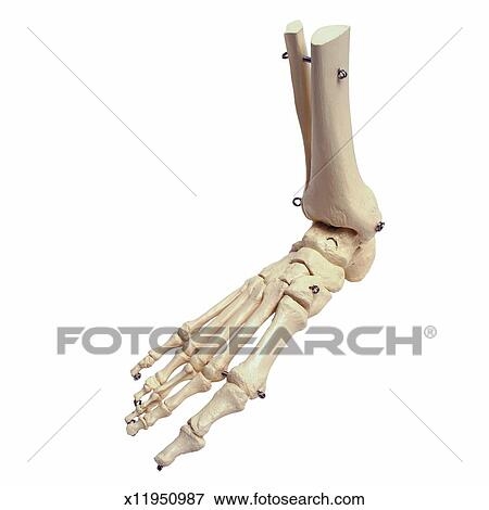 Picture of Close up of a model skeleton foot x11950987 - Search ...