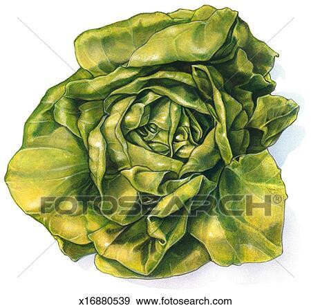 Head of Lettuce Stock ...