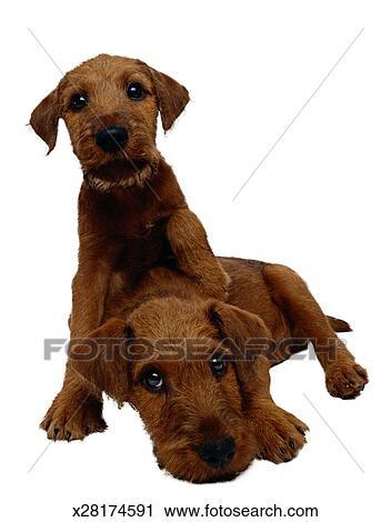 ierse terriër, hondjes stock afbeelding | x28174591 | fotosearch