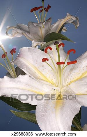 Stock images of white stargazer lilies lilium orientalis close up white stargazer lilies lilium orientalis close up mightylinksfo