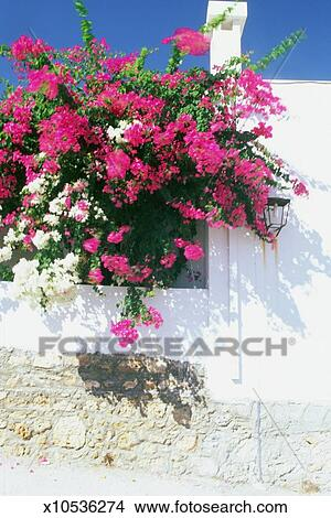 stock foto niedrige winkelsicht von bougainvillea blumen wachsen drau en a haus rhodos. Black Bedroom Furniture Sets. Home Design Ideas