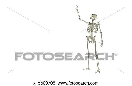 Bilder - knochen struktur, von, a, menschlicher körper x15509708 ...