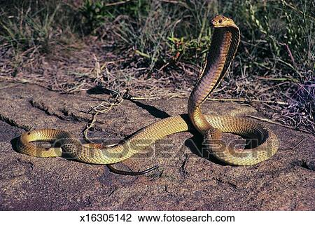 Stock Photo - King Cobra. Fotosearch - Search Stock Photography, Print Pictures, Images, and Photo Clip Art