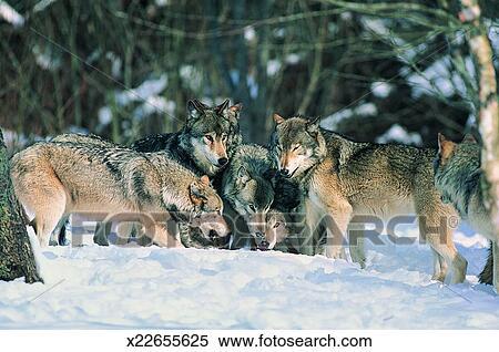 Gruppo di lupi canis lupus archivio fotografico x22655625