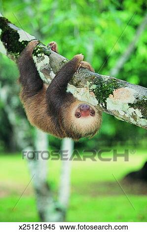 stock image of hoffmann s two toed sloth hanging upside down from a