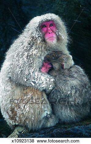Japonés Nieve Monos Macaca Fuscata Colección De Foto