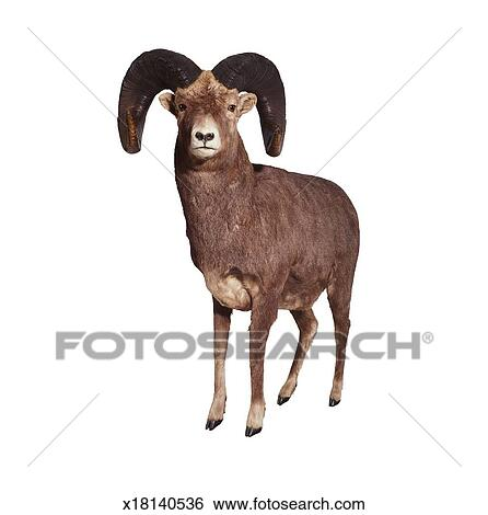 Stock Images Of Stuffed Bighorn Sheep X18140536 Search Stock