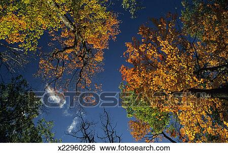 Stock Images Of Sugar Maple Trees In Fall Canada View From Below
