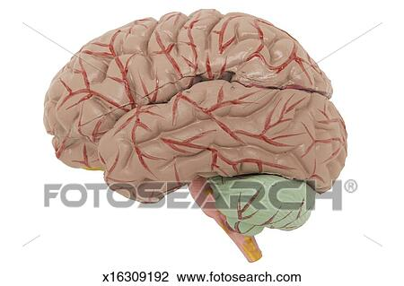 Stock Photo Of Anatomical Model Of Human Brain Side View X16309192