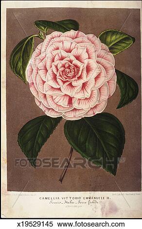 Banque D Illustrations Rose Camelia Fleur X19529145 Recherche