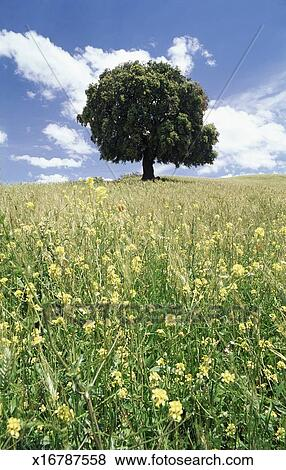 Pictures Of One Tree In A Field Of Flowers X16787558 Search Stock