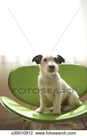 Stock Foto - schwarz weiß, terrier, hund, sitzen, auf, grüner stuhl ...