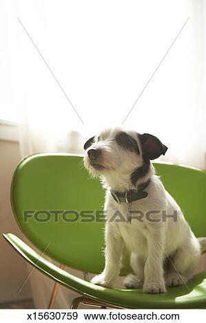 Stock Fotograf - schwarz weiß, terrier, hund, sitzen, auf, grüner ...