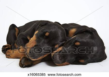 Two Doberman Puppies Sleeping On White Background Stock Photography