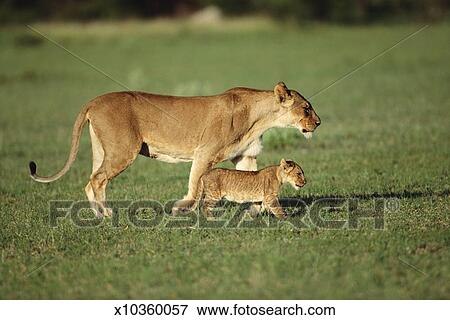picture of lioness and cub panthera leo in field side view