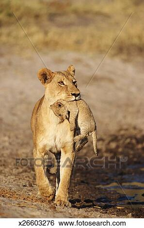 Stock Images Of Lioness Panthera Leo Walking By Swamp Carrying