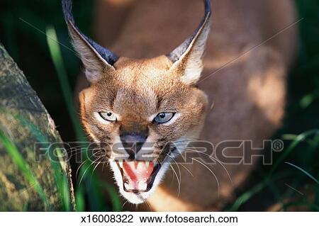 Caracal Desert Lynx Felis Caracal Lynx Caracal Snarling Stock