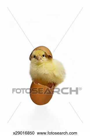 stock photography of newly hatched chick and eggs x29016850