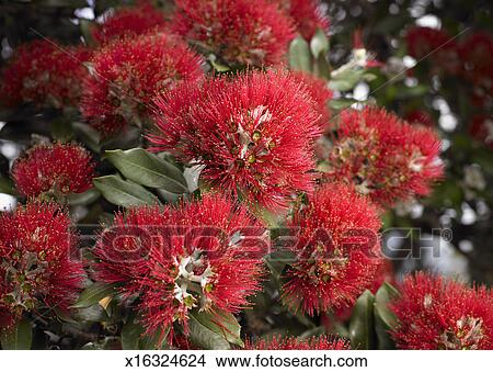 Pohutukawa Flowers New Zealand Christmas Tree Picture X16324624