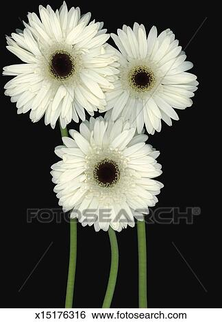 stock images of three white daisies against black background