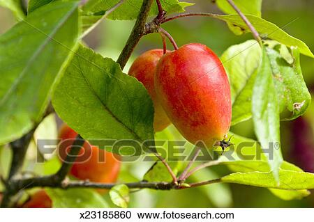 Crab Apple Tree With Fruit Stock Image X23185860 Fotosearch
