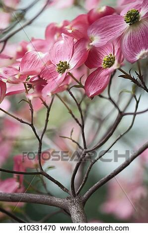 Stock photography of bright pink flowers on a dogwood tree x10331470 bright pink flowers on a dogwood tree mightylinksfo