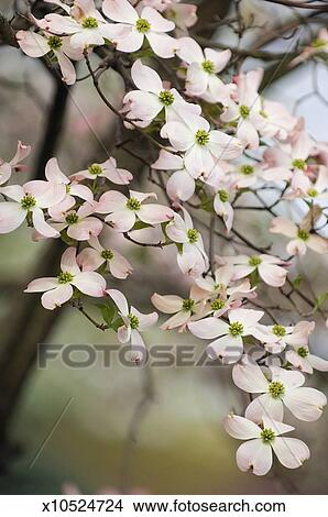 Stock Photo Of Light Pink Dogwood Flower Chain X10524724 Search