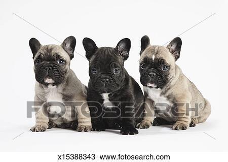 Pedigree Bulldog Francese Cuccioli Fila Bianco Archivio Immagini