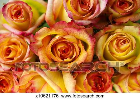 stock images of peach colored roses x10621176 search stock