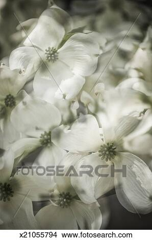 White Dogwood Tree Flower Pattern Picture X21055794 Fotosearch