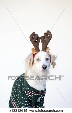 Ugly Dog Christmas Sweaters.Dog In Ugly Christmas Sweater Stock Photography
