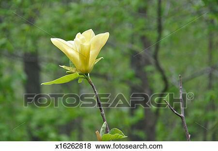 Yellow Magnolia Flower Spring New England Stock Photo X16262818
