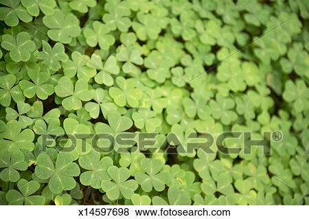 Pictures Of Shamrocks Covering The Ground Three Leaf Clovers