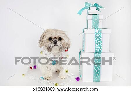 Shih Tzu dog wrapped with ornaments