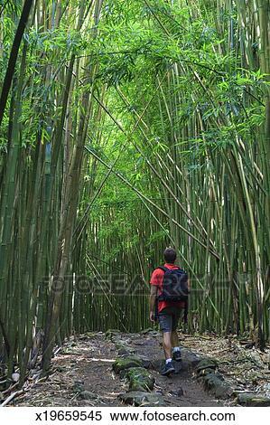 Stock Bild Usa Hawaii Maui Bambuswald X19659545 Suche