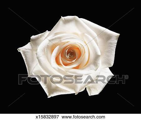 Rosa Bianca Fiore Su Sfondo Nero Archivio Fotografico X15832897
