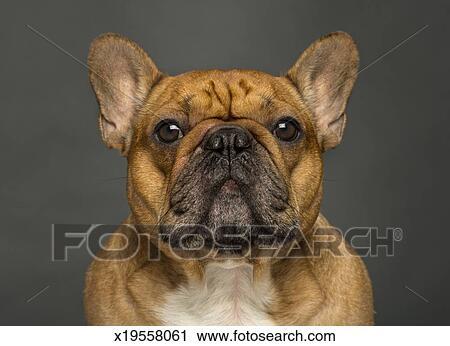 Archivio Fotografico Primo Piano Di Uno Bulldog Francese Su