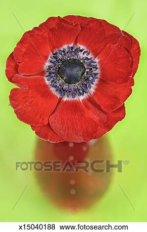 Picture - Red anemone flower in red vase on green. Fotosearch - Search Stock Photos