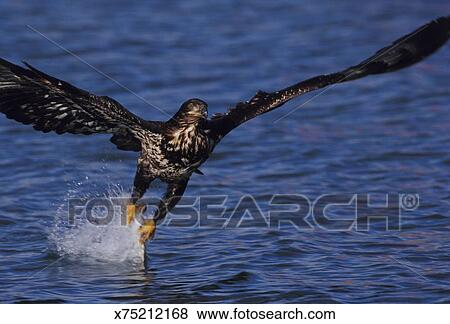 Bald Eagle Catching Fish Pictures X75212168