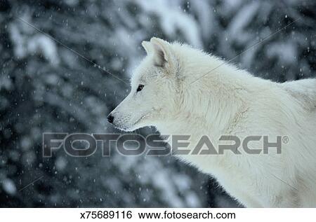 Lupo bianco canis lupus in neve primo piano profilo archivio