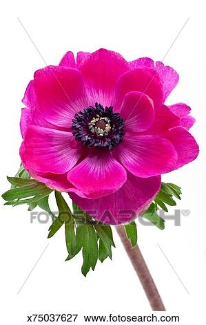 Picture of pink anemone flower x75037627 search stock photography pink anemone flower mightylinksfo
