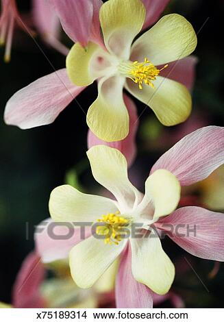 Columbine Flowers Picture X75189314 Fotosearch