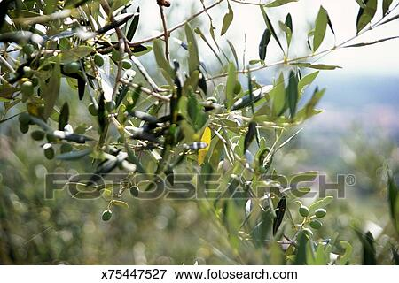 Picture Of Olive Tree Leaves X75447527 Search Stock Photography