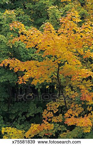 Sugar Maple Tree Acer Saccharum In Fall Foliage Leaves Can Turn
